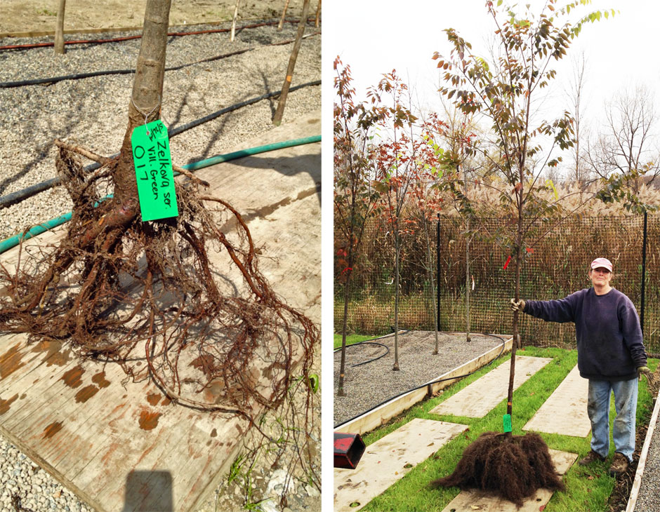 Root system before and after 12 weeks growing in our Missouri Gravel Bed system.