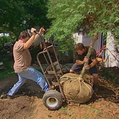 Planting a heavy ball and burlap tree