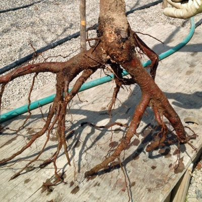 Problem with bare root tree