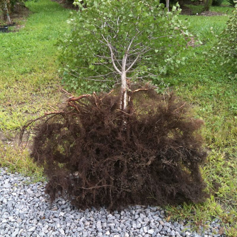Transplant our trees in full leaf at any time during the growing season